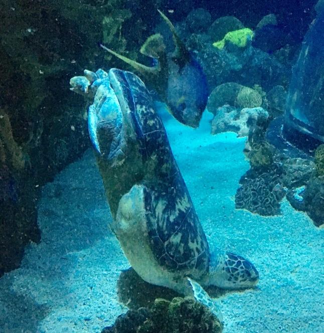 Oscar Tennessee Aquarium 05.18