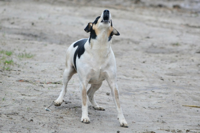 Barking Jack Russell by Ben_Kerckx:Pixabay