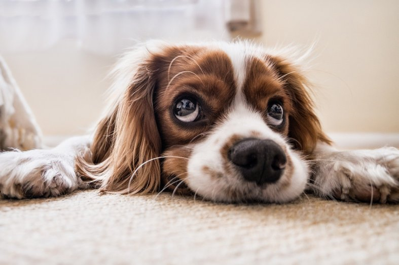 pixabay dog on carpet-2785074_1920